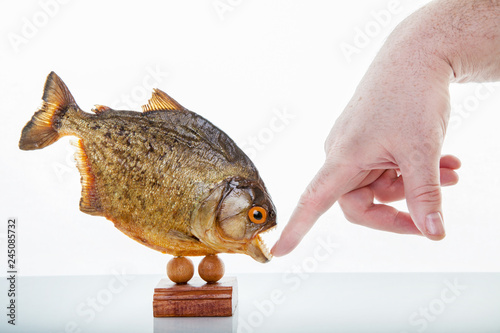 Photo  A piranha animal specimen with hand