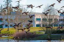 A Gaggle Of Canada Geese Landing On A Pond Surface In A Dawson Creek Park, HIllsboro, Oregon