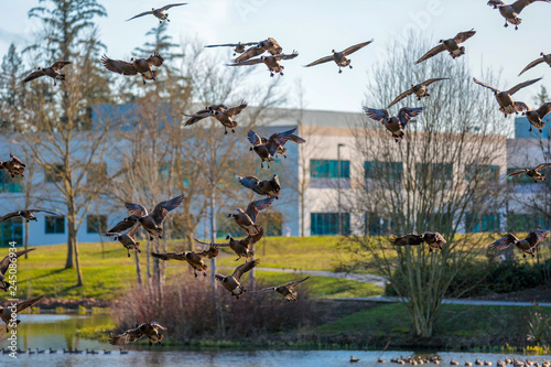 Fotografija A gaggle of Canada geese landing on a pond surface in a Dawson Creek park, HIlls
