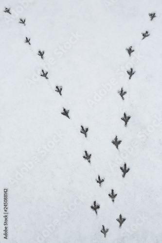 Fotografie, Obraz  Diverging traces of pigeons on white snow