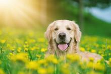 Golden Retriever, Happy Dog