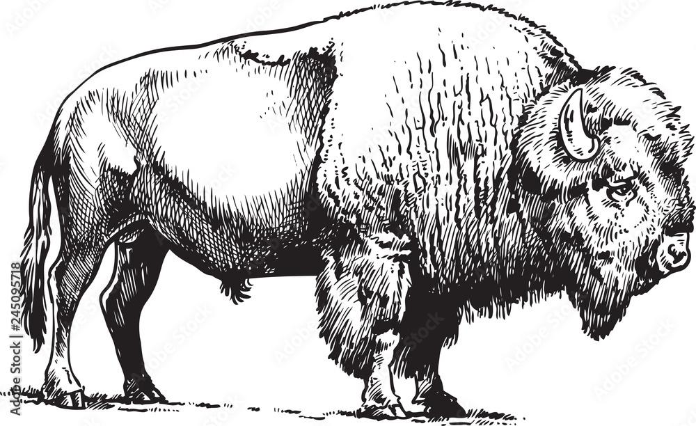 Fototapeta Buffalo - American Bison