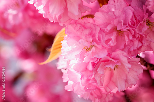 Fotobehang Roze Close-up image of beautiful pink flowers, abstract bright floral background. A bunch of blossoming sakura branch in spring time, suitable for wallpaper