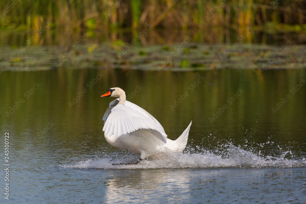 mute swan (cygnus olor) landing on water surface, reed