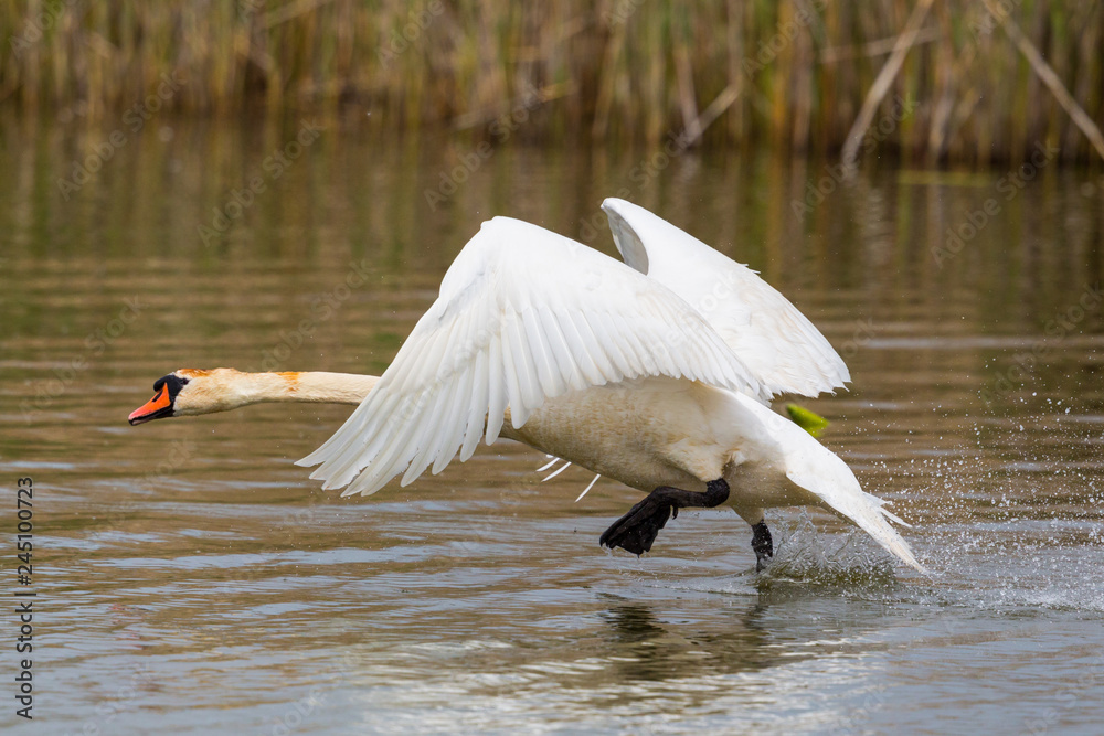 white mute swan (cygnus olor) running on water, spread wings, reed