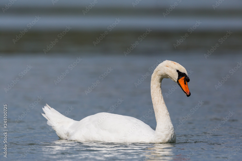detailed side view portrait swimming mute swan (cygnus olor)
