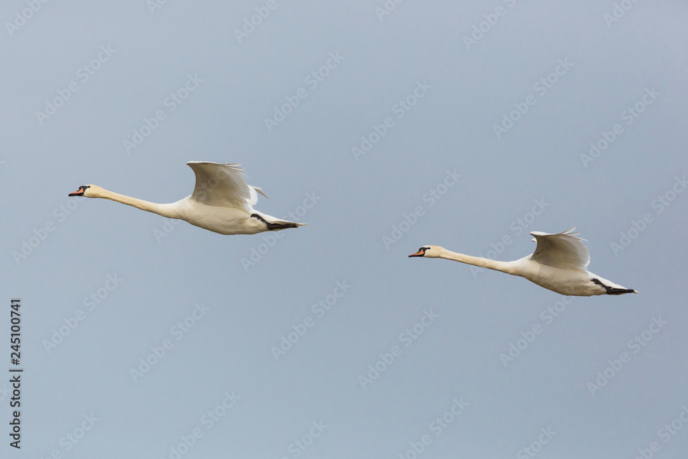 side view portrait two mute swans (cygnus olor) in consecutive flight