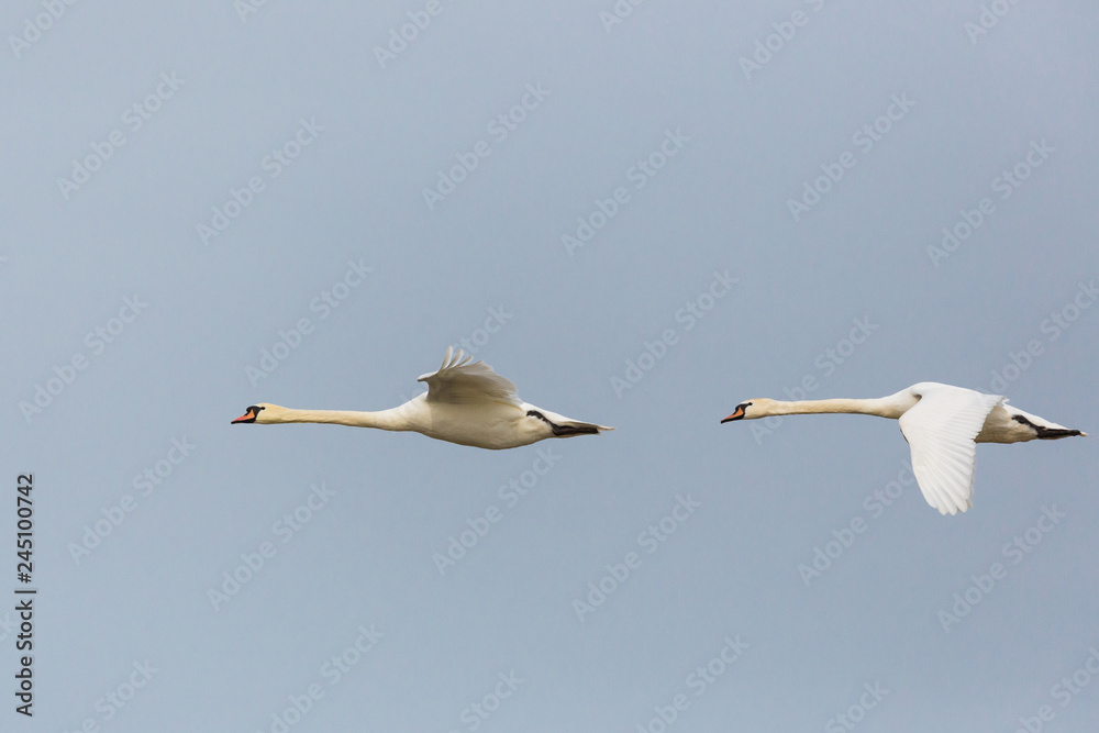 side view portrait two flying mute swans (cygnus olor)