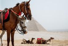 Horses In Desert Near Pyramids...