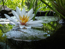 Magic Close-up White Water Lily Or Lotus Flower Marliacea Rosea In Pond Mirror With Green Leaves. Petals Of Nymphaea In Drops. Stones And Blurred Nature On Background. Selective Focus. Place For Text