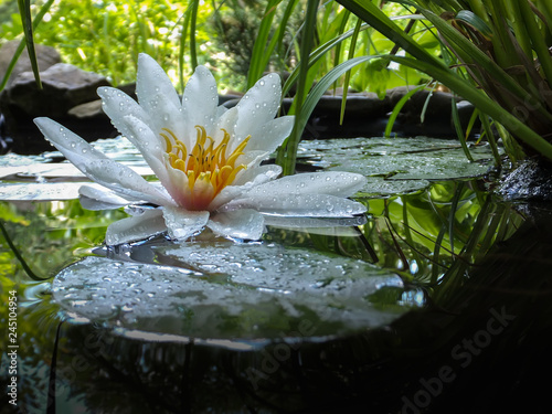 Nénuphars Magic close-up white water lily or lotus flower Marliacea Rosea in pond mirror with green leaves. Petals of Nymphaea in drops. Stones and blurred nature on background. Selective focus. Place for text