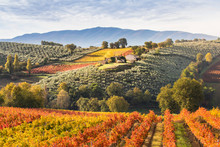 Montefalco Wineyards, Perugia Province, Umbria, Italy