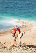 Stunning View Of A Camel Grazing On A Hill With Dead Sea In The Background, Israel.