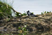 A Blacksmith Lapwing Or Blacksmith Plover (Vanellus Armatus) Resting At The Shore Of Lake Naivasha, Kenya
