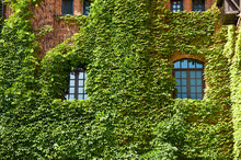 Providing Greenery. Old House Exterior With Creeper Or Climber. Vines Growing On Stone Wall In Summer. Architecture And Nature. House Building Covered With Ivy. Green Ivy Plant Climbing Brick Wall