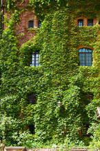 Disguising Some Imperfections. Green Ivy Plant Climbing Brick Wall. Old House Exterior With Creeper. House Building Covered With Ivy. Vines Growing On Stone Wall In Summer. Architecture And Nature
