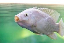 White Carp Fish, Cyprinus Carp...