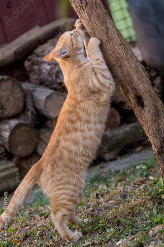 Foto auf Leinwand Luchs Yellow cat sharp nails on a tree in the yard