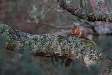 Red Squirrels, Sciurus Vulgari...