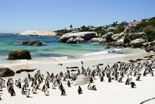 Penguine At Boulders Beach