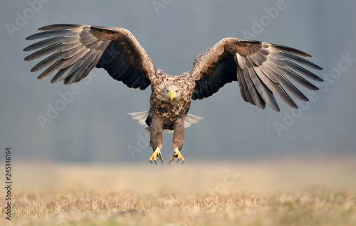 Stickers pour portes Aigle White tailed eagle (Haliaeetus albicilla)