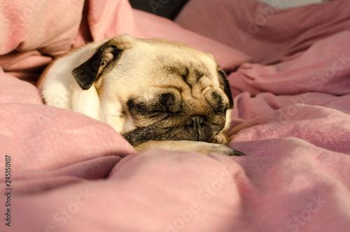 Fotografie, Obraz  small cute dog breed pug sleeping in master's bed