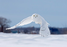 Snowy Owl Flying Low Hunting O...