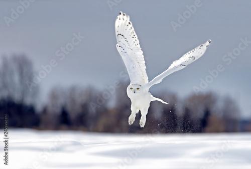 Fototapeta premium Sowa śnieżna latający niski polowanie nad otwartym pogodnym śnieżnym polem uprawnym w Ottawa, Kanada