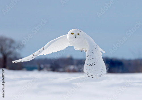Snowy owl flying low hunting over an open sunny snowy cornfield in Ottawa, Canad Tableau sur Toile