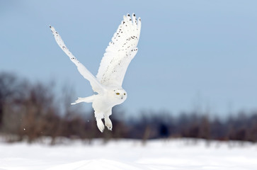 Snowy owl (Bubo scandiacus) male flying low hunting over an open sunny snowy cornfield in Ottawa, Canada