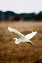 Majestic Egret Flies Low Over Golden Wetland Grasses In The Outer Banks Of North Carolina