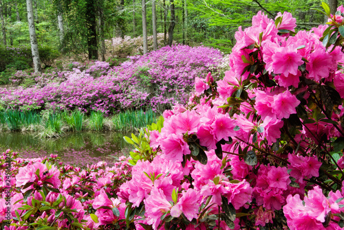 Azalea Flowers in Bloom with Blurred Flowered Background