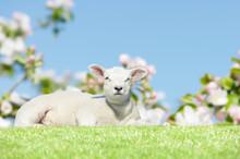 Lamb Lying On Meadow In Springtime