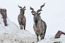 Mountain Goats (Markhor) Among The Snow And Rocky Ledges Against The White Sky