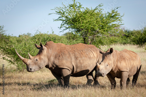 Tuinposter Neushoorn White rhinoceros or square-lipped rhinoceros (Ceratotherium simum). North West Province. South Africa