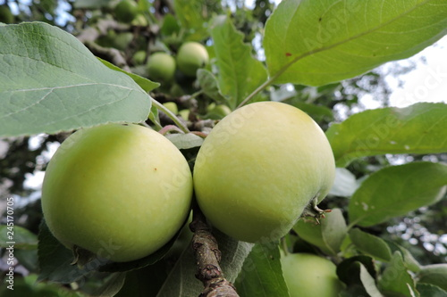 Yellow and green apples ripening on an apple tree branch