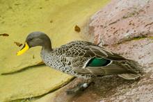 Yellow Billed Duck, Dabbling D...