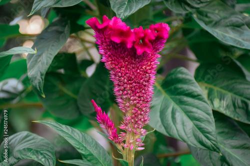 Fototapeta close up red Celosia Argentea or cockscomb flower