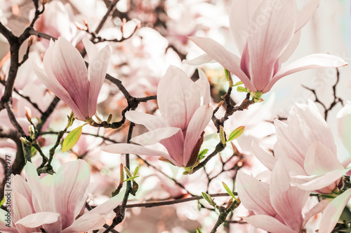 Photo sur Toile Magnolia Blooming magnolia tree in the spring