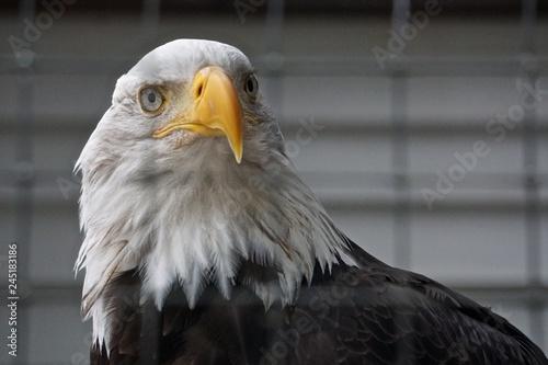 Valokuvatapetti Sitka, Alaska, USA: A bald eagle (Haliaeetus leucocephalus) at the Alaska Raptor Center