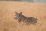 Fototapeta Sawanna - guziec wystający z pożółkłych traw na afrykańskiej sawannie