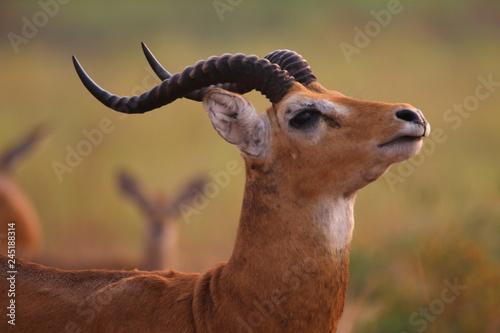 pasące się antylopy wśród wyschniętych traw wielkiej równiny afrykańskiej