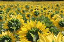 Back Side Of Sunflowers In Formation
