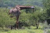 Fototapeta Sawanna - żyrafy wśród drzew na zielonej afrykańskiej równinie w parku serengeti