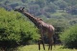 żyrafy wśród drzew na zielonej afrykańskiej równinie w parku serengeti