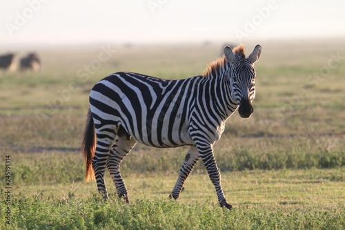 samotna zebra na tle afrykańskiej równiny serengeti
