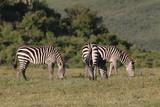 stado zebr wypasających się na równinie w naturalnym środowisku