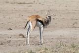 Fototapeta Sawanna - młoda antylopa z bliska w naturalnym środowisku w parku serengeti w afryce