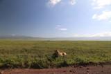 Fototapeta Sawanna - młody lew afrykański leżący w trawie na parku serengeti