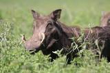 Fototapeta Sawanna - guziec wśród traw na wielkiej równinie afrykańskiej w parku serengeti